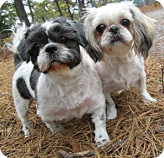 Forked River Nj Shih Tzu Meet Pepper And Nena A Dog For
