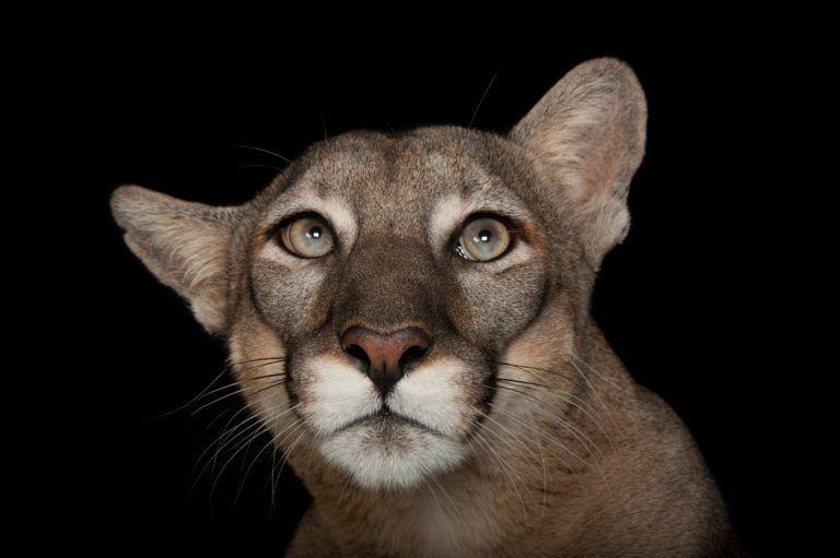 Florida panther by joel sartore florida panther