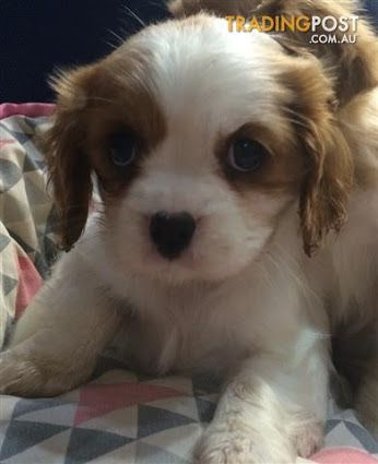 Puppies Teacup Shih Tzu Puppies Teacup In 2020 Poodle Mix Puppies Shih Tzu Puppy Teacup Puppies Maltese