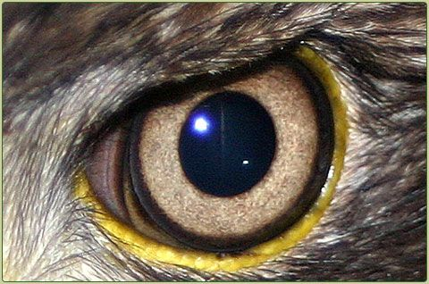 Eagle Eye Drawings Eyesight An Eagle S Eye Is Almost As Large