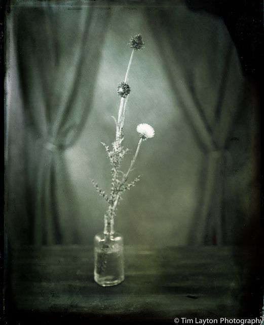 Missouri Musk Thistle - 6/17/12 - Wet Plate Collodion by Tim Layton Sr., via Flickr