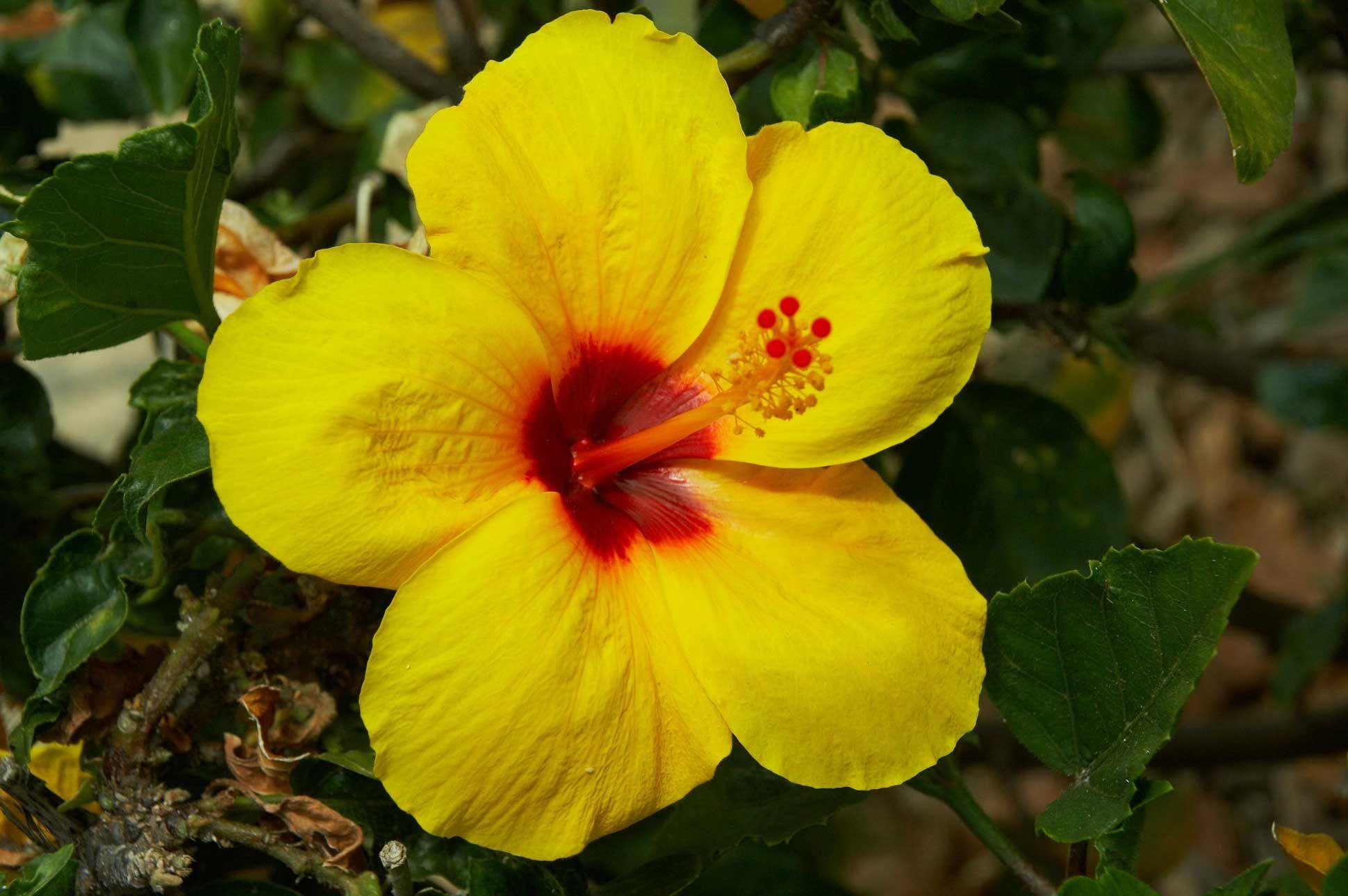 Hawaii State Flower Hawaii Pinterest