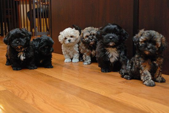 Puppies For Sale Shih Poo Puppies Shih Poo Puppies