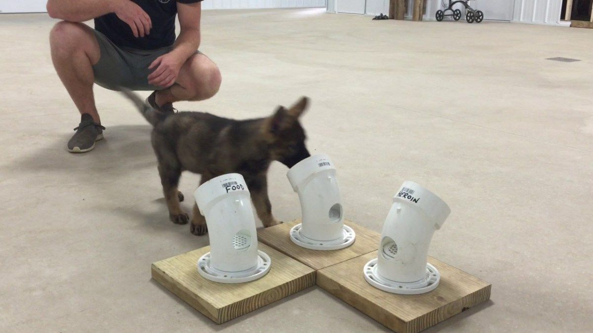 Police Puppy In Training Should Arrest Itself For Excessive