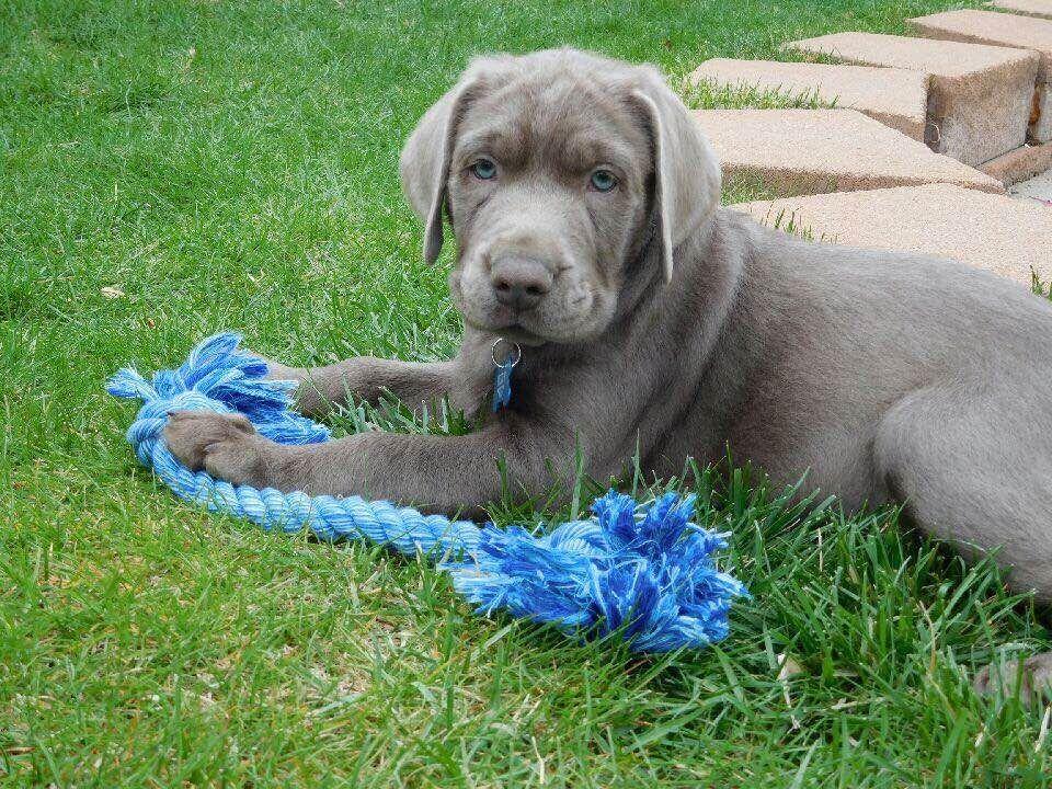 Silver Girl 1 Labrador Retriever For Sale In Manchester Iowa Vip Puppies Labrador Retriever Labrador Puppy Puppies