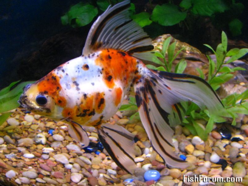 Goldfish Carassius Auratus Auratus Profile Goldfish Veiltail Goldfish Goldfish Types