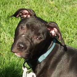 Adopt Harry On Great Dane Dogs Great Dane Mix Pitbull Terrier