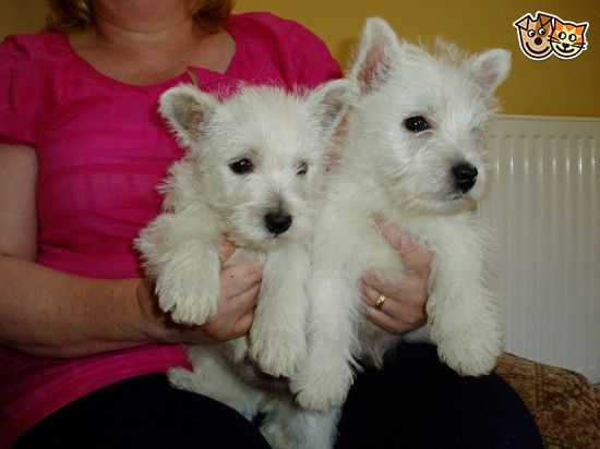 West Highland Terrier Pups For Sale West Highland Terrier