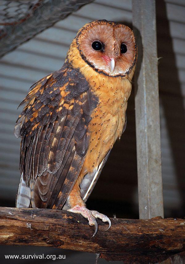Golden Masked Owl