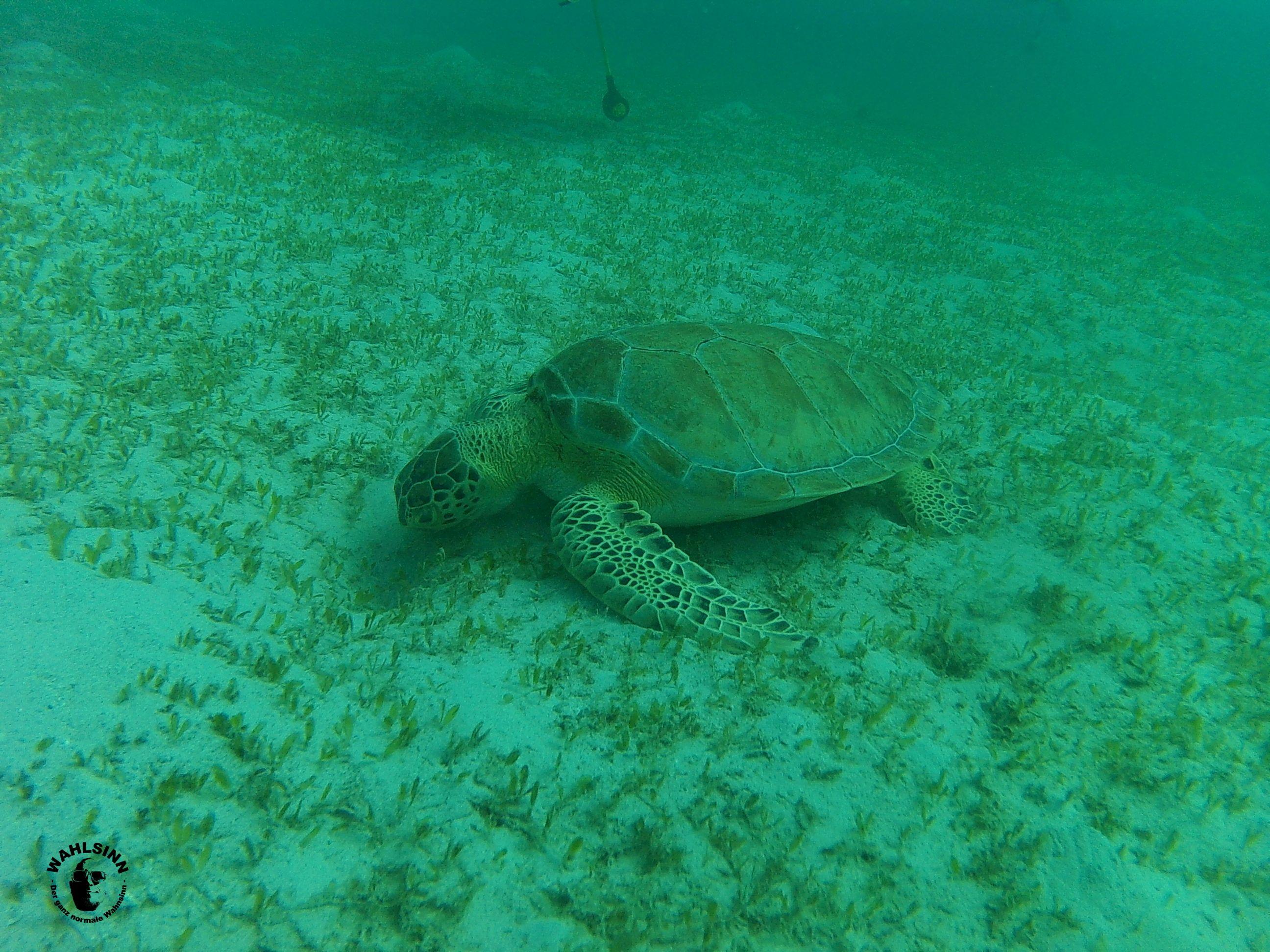 Barbados - Schildkröten sind auf den umliegenden Seegrasen Wiesen oft anzutreffen. Du musst schon mit geschlossenen Augen unterwegs sein, um sie nicht zu sehen