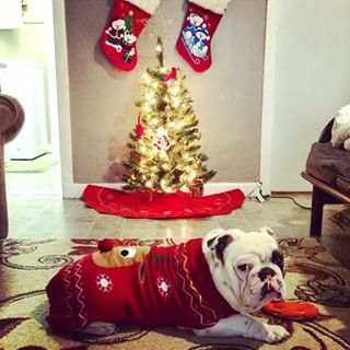 And this ADORABLE wonder. | 25 Bulldogs Who Had A Better Ugly Sweater Party Than You Did