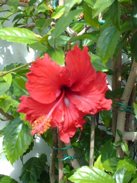 How To Transplant Hardy Hibiscus Flowers And Plants In My Secret