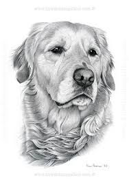 Image Result For Golden Retriever Pencil Drawing Pet Portraits