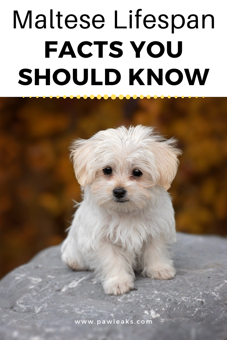 Maltese Lifespan Facts You Should Know Teacup maltese