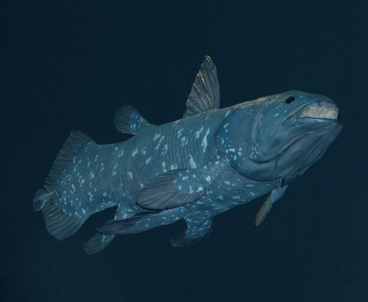 The Coelacanth A Member Of A Group Of Fishes That Existed