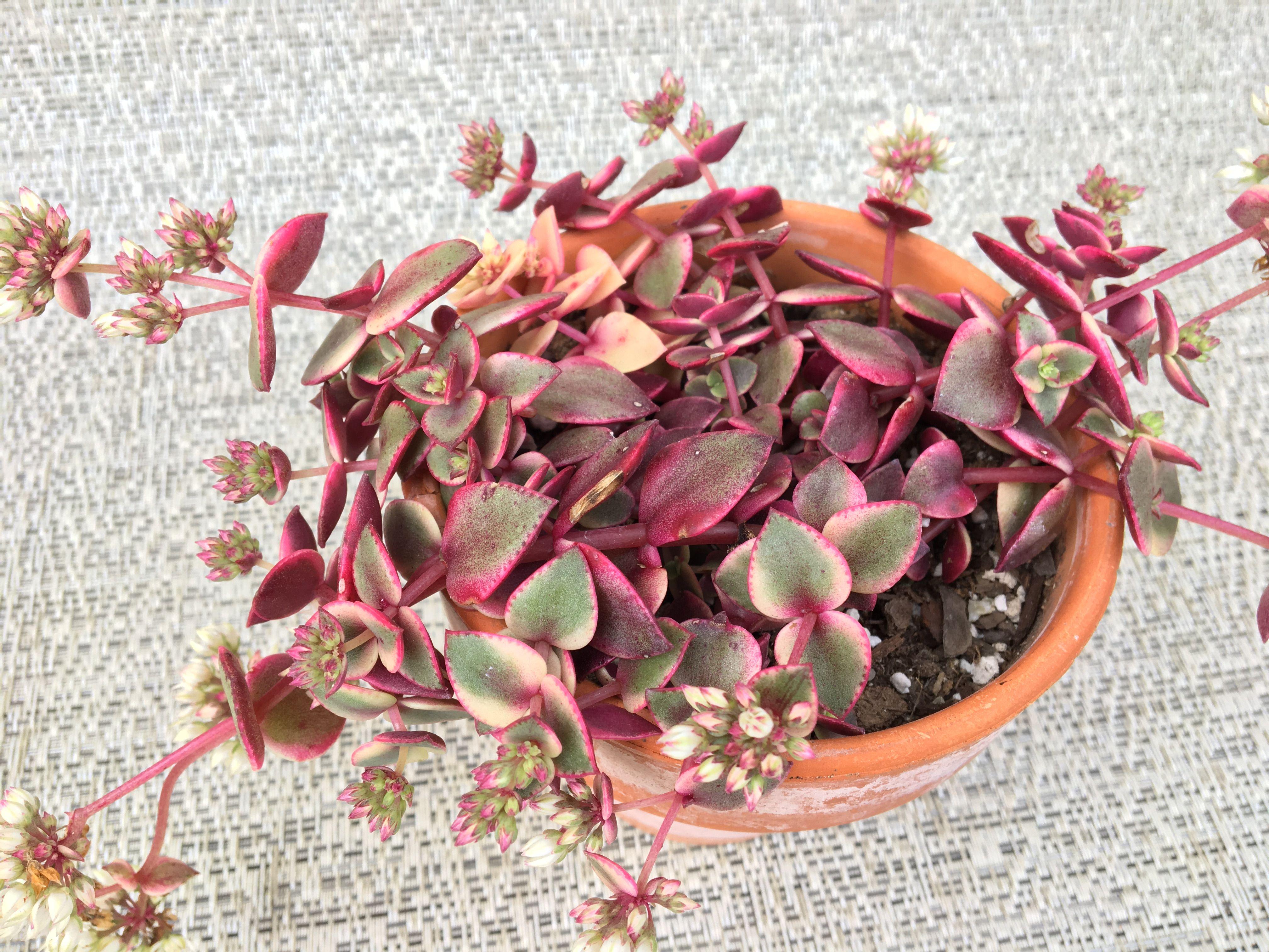 Crassula Calico Kitten Plants Succulents Cactus