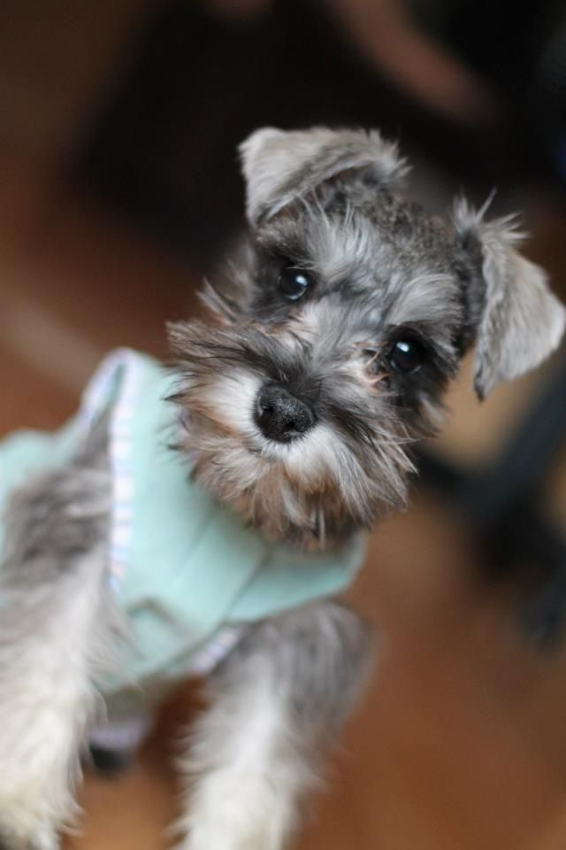 Chloe: my adorable puppy | Dogs And Puppies | Miniature ...