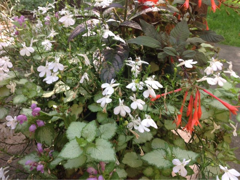 Lobelia White (lobelia erinus): It looks like a lobelia. There are many lobelias, ranging in height from 6 inches to 3 feet.  It requires regular moisture and grows best in sun to part shade.