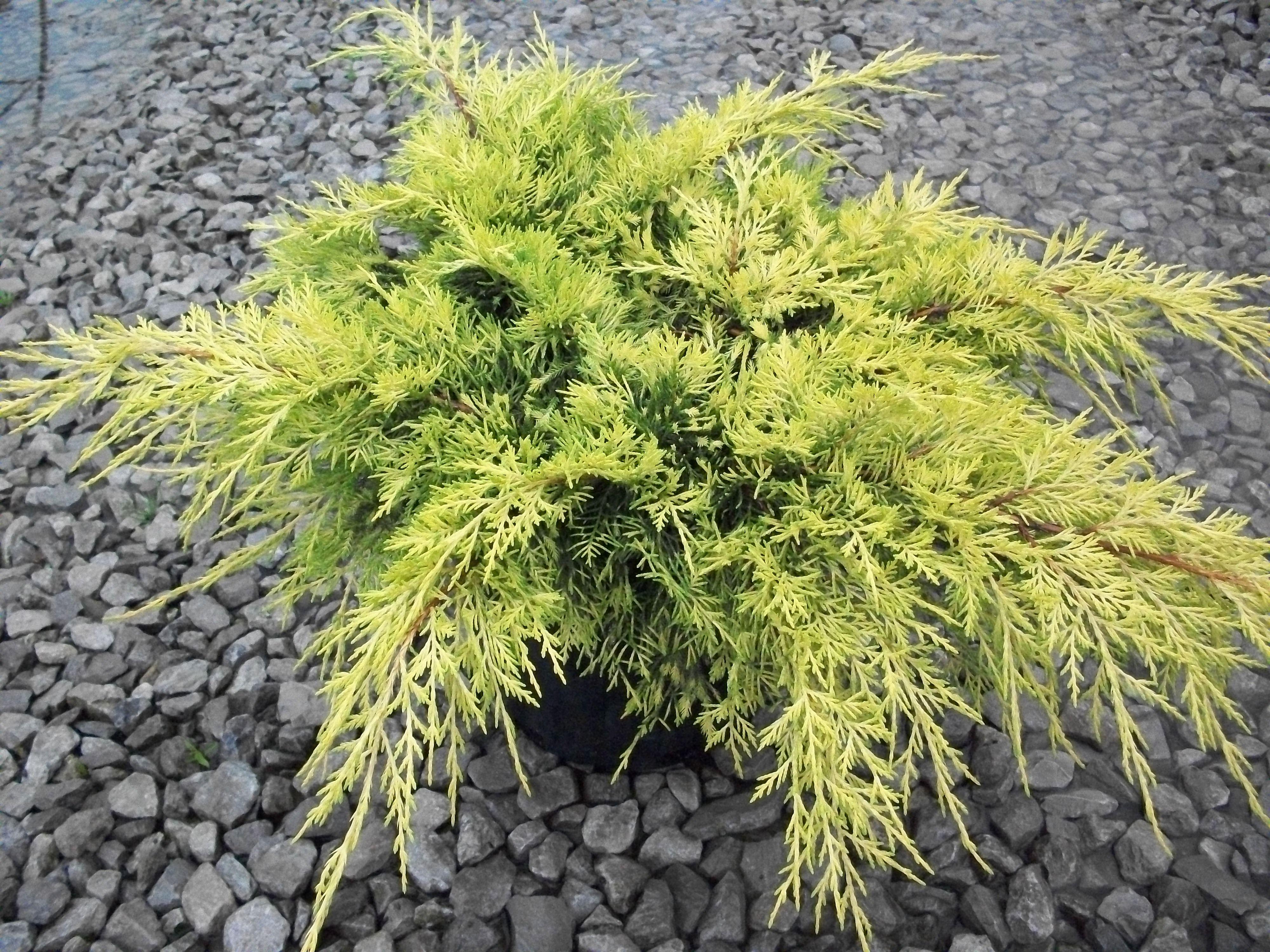 Gold Lace Juniper Garden Shrubs Shrubs Small Evergreen Shrubs