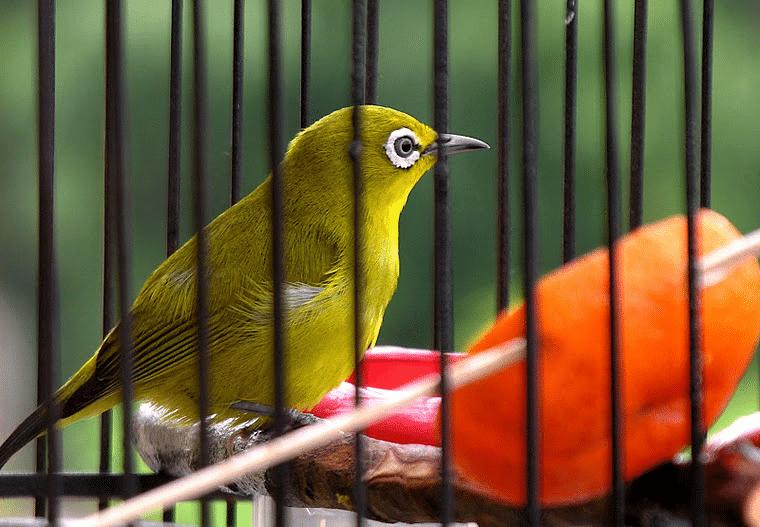 Mengetahui Aneka Manfaat Wortel Bagi Burung Kicauan Burung Hewan Jenis