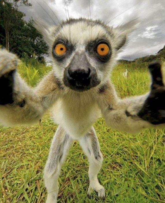 572x700, 82 Kb / лемур, глаза   Cute animals, Funny ...