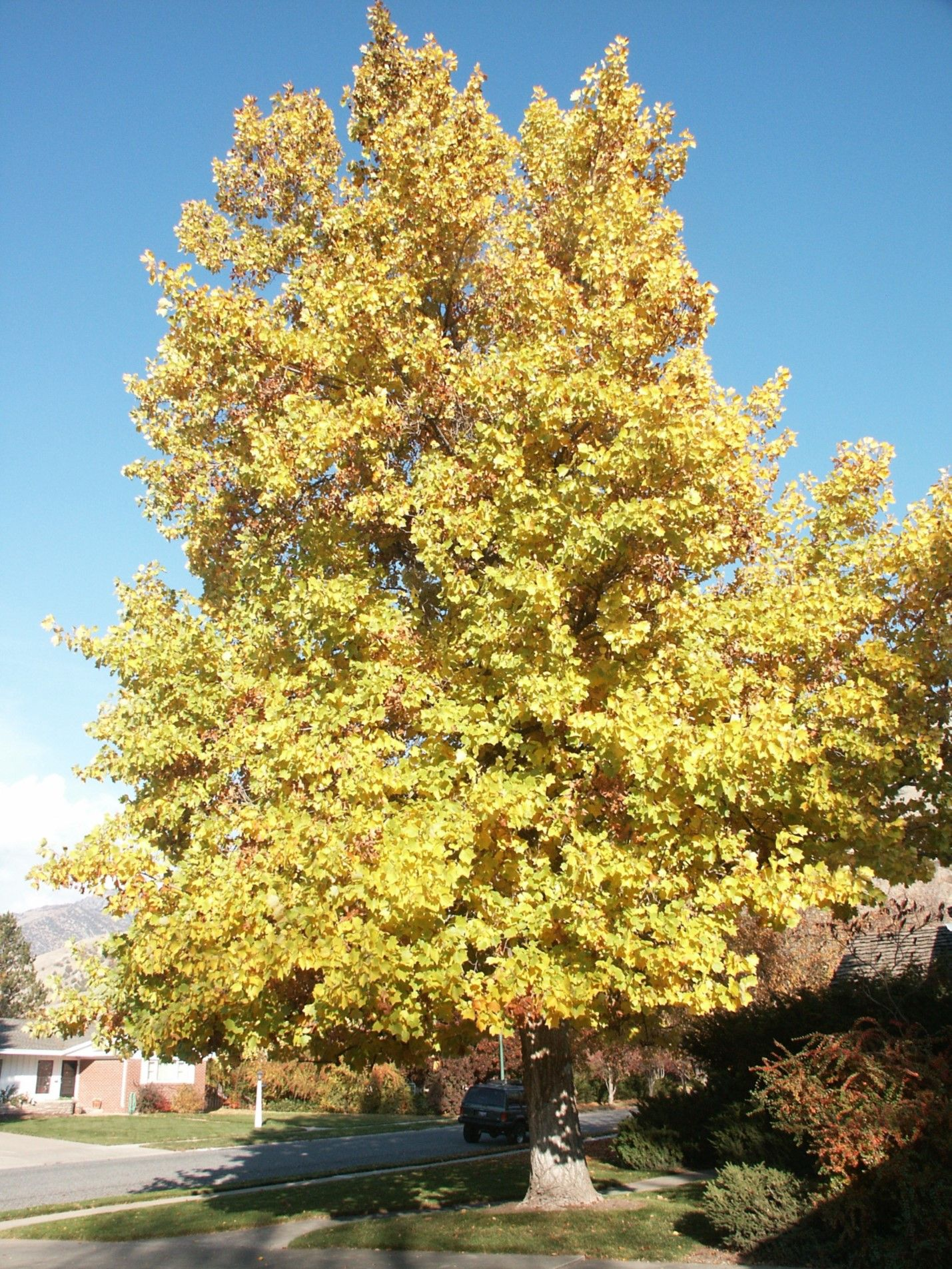 16 Less Common Trees For Utah Landscapes Diversifying Utah S Community Forests Usu Fast Growing Shade Trees Shade Trees Best Shade Trees