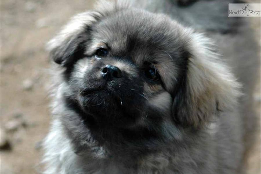 Tibetan Spaniel puppy for sale near High Rockies, Colorado