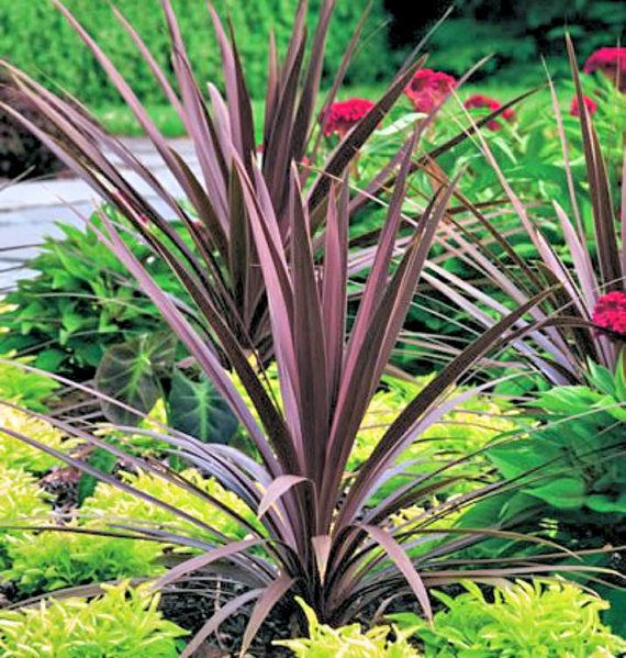 Cordyline Australis Red Sensation Starter Plant Garden Express Short Plants Dracena Plant