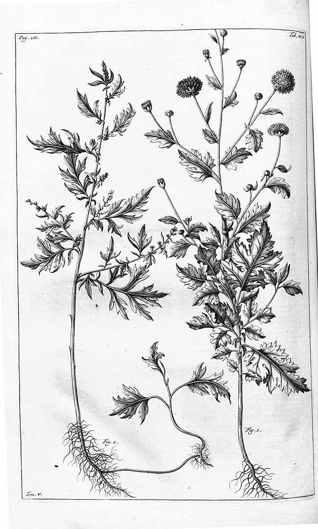 Artemisia Vulgaris Drawing Google Search Artemis