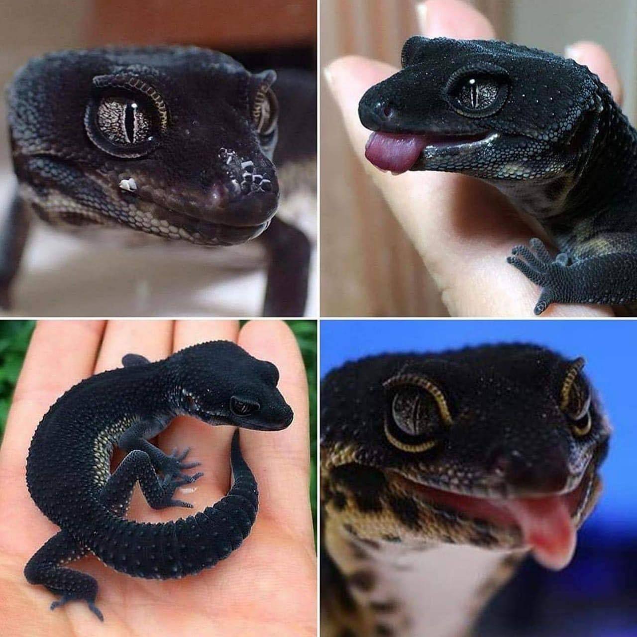 A black night leopard gecko. in 2020 | Cute reptiles, Cute lizard ...