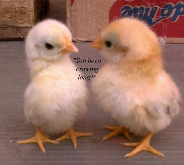 """You been crowing long?"" #poultry #peeps #chickens #chicks #hatching"