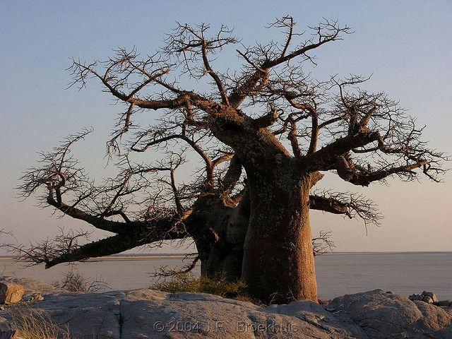 Baobab by Makgobokgobo, via Flickr
