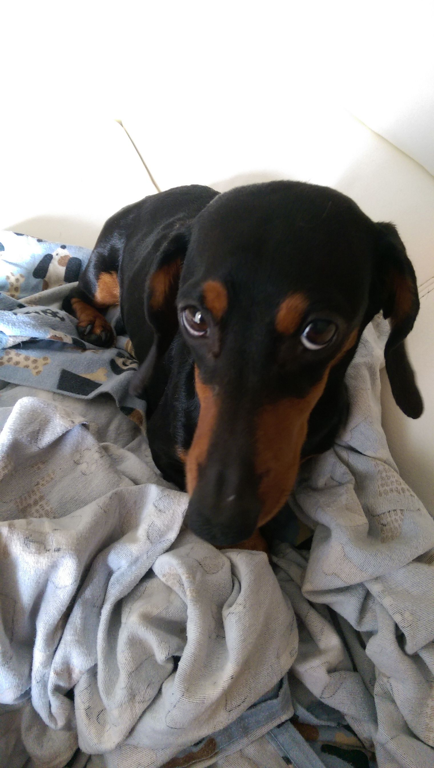 Do I Have To Take A Bath Baby Dachshund Most Cutest Dog Love Pet