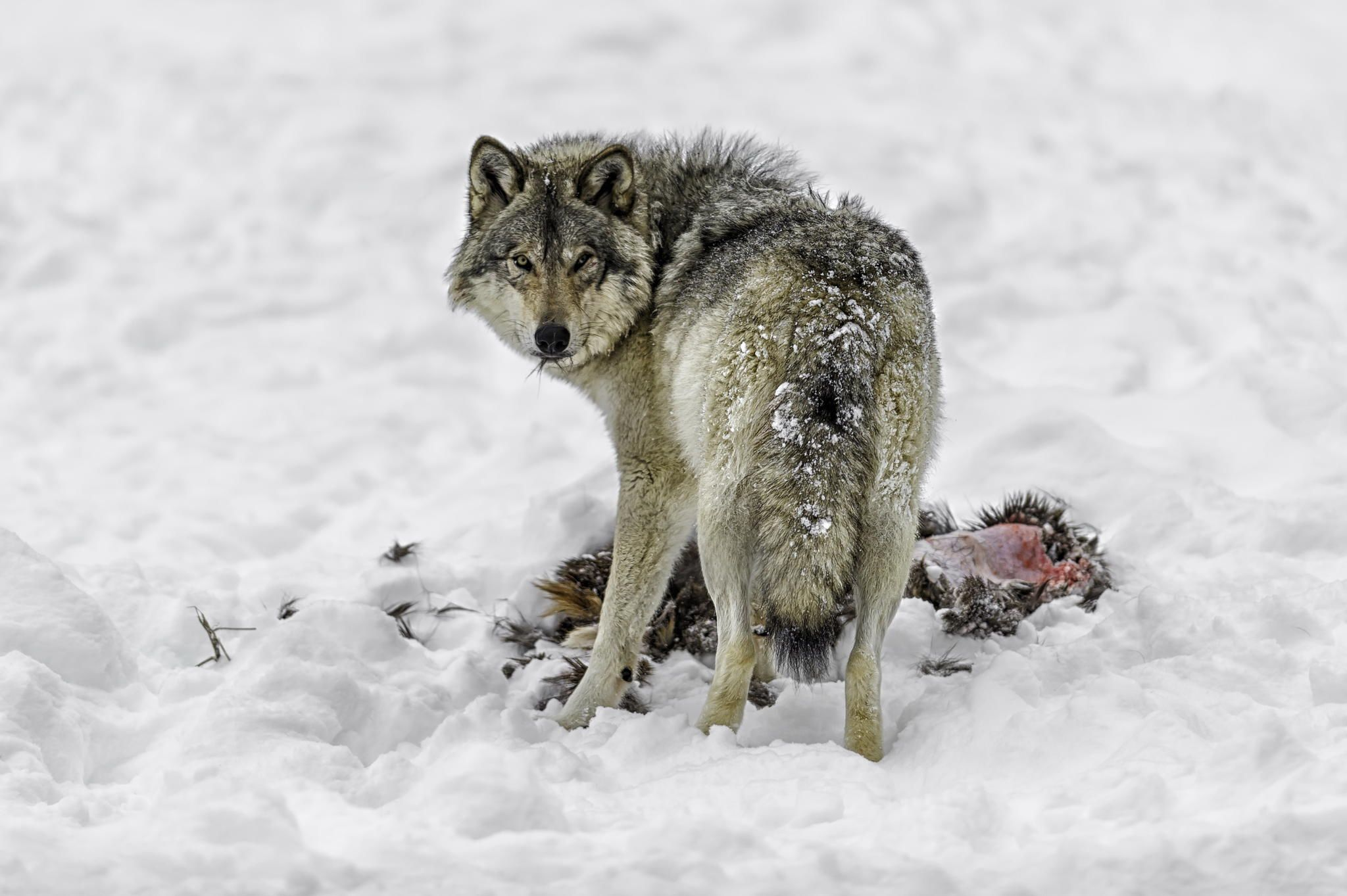 Upon the kill... by Daniel Parent on 500px