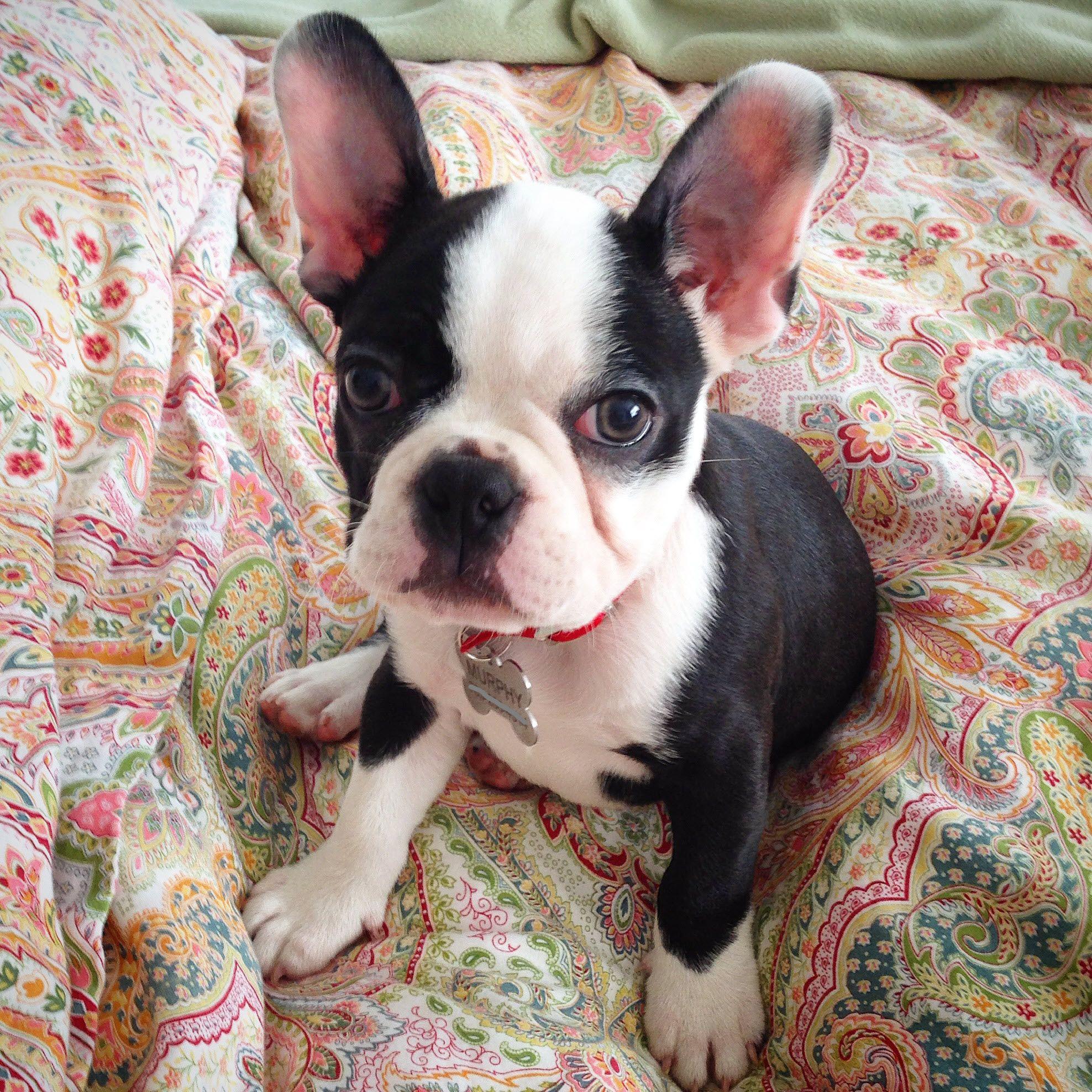 Frenchton Puppy Murphymcmurpherson On Ig Hybrid Dogs French Bulldog Mix Dogs