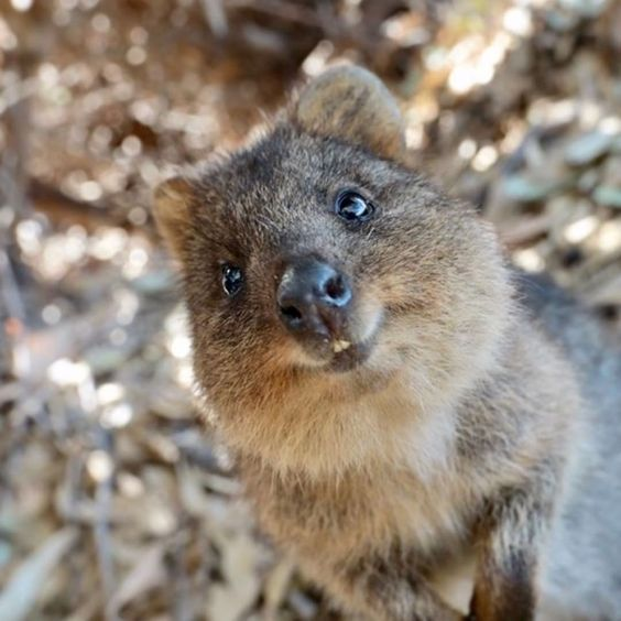 Quokka - Facts, Information and Pictures | Baby animals ...