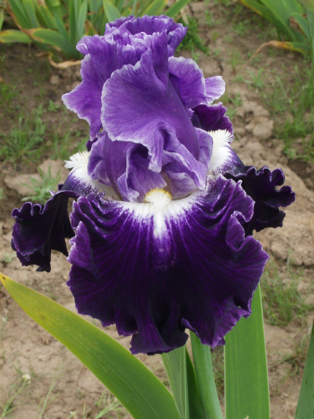 A Blog About The Iris World For All Iris Lovers Artistic Floral