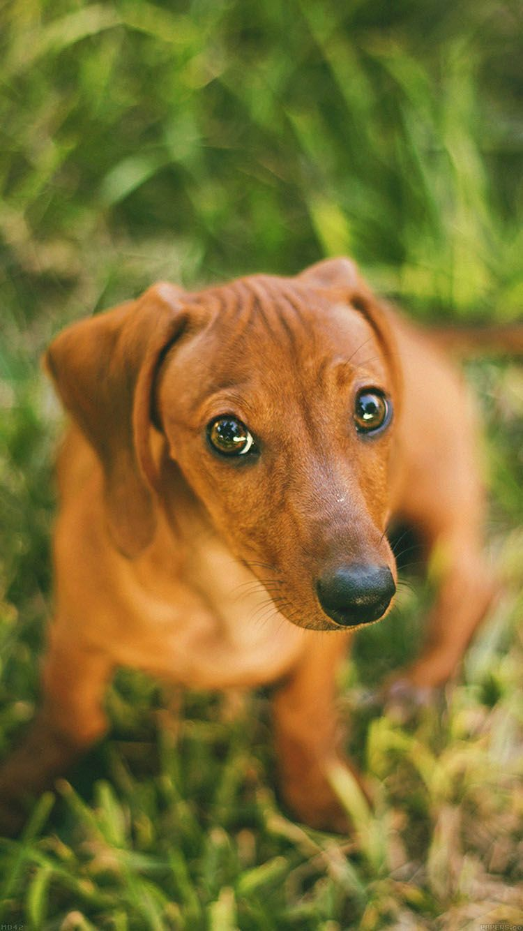 Here S 15 Wallpapers For Iphone 6 With Funny And Cute Animals Cute Dog Wallpaper Dachshund Wallpaper Dog Wallpaper