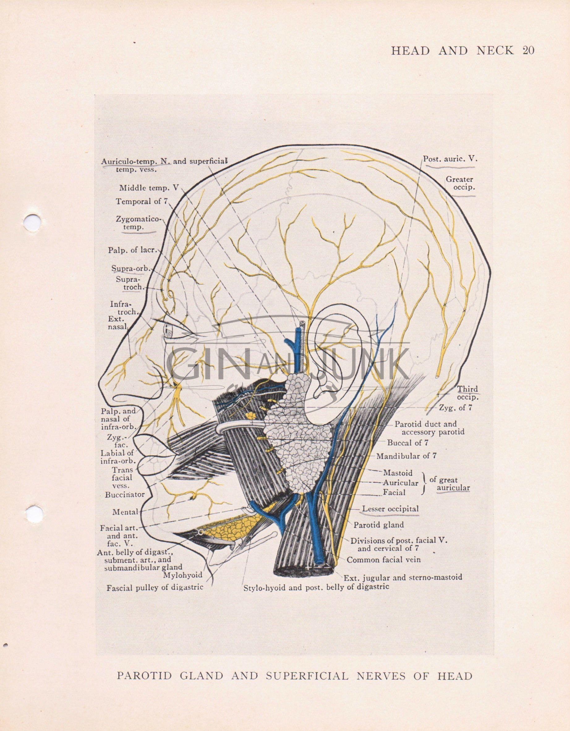 Vintage Medical Drawing Nervous System Human Head Anatomy Print
