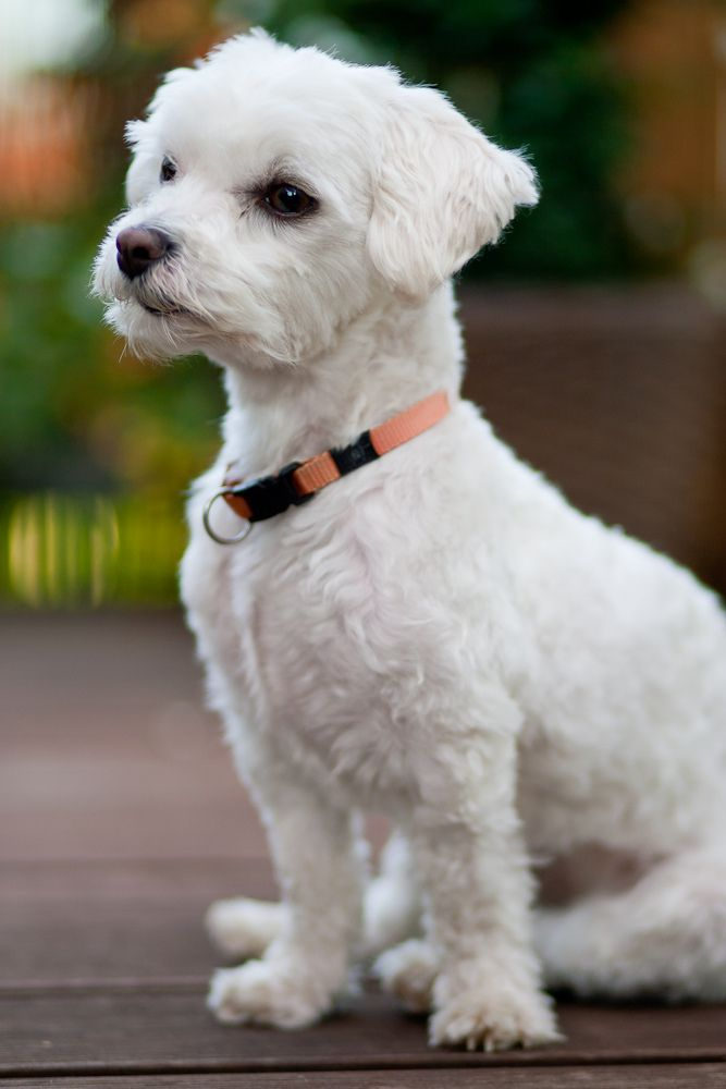 Img 1d 98092 Flickr Jpg Maltese Dogs Maltese Puppy Dog Haircuts
