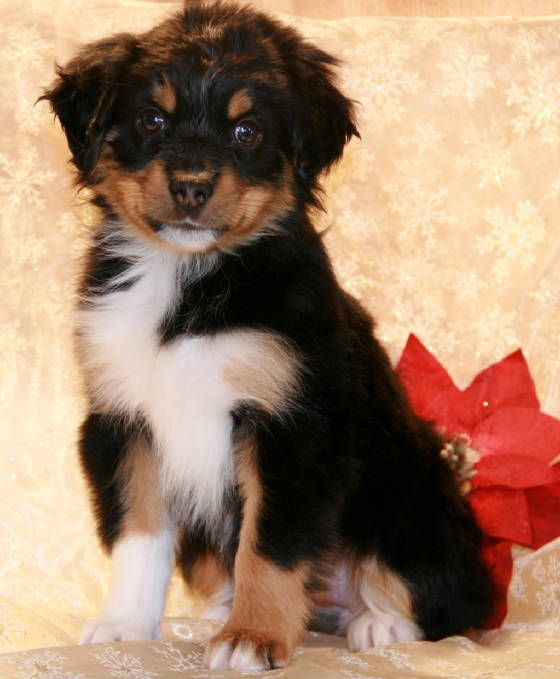 Toy Mini Australian Shepherd Breeders In Al Az Ar Ca Co Ct