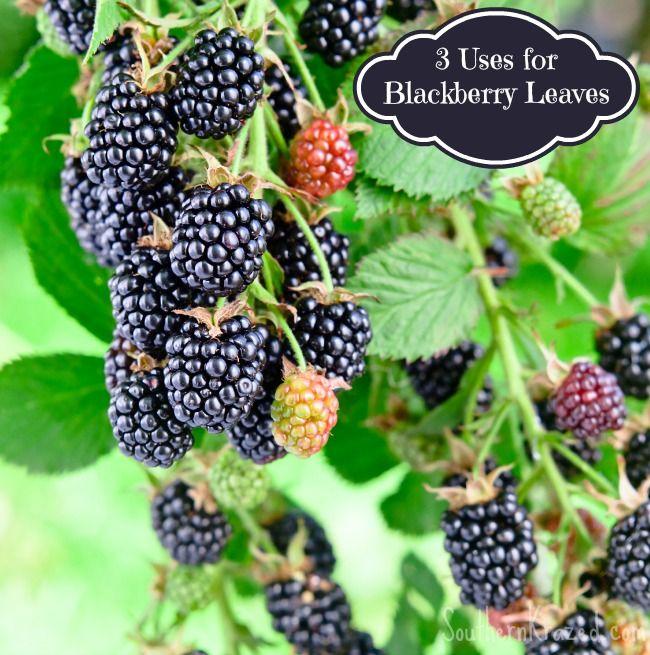3 Uses for Blackberry Leaves - Diarrhea - Cardiovascular
