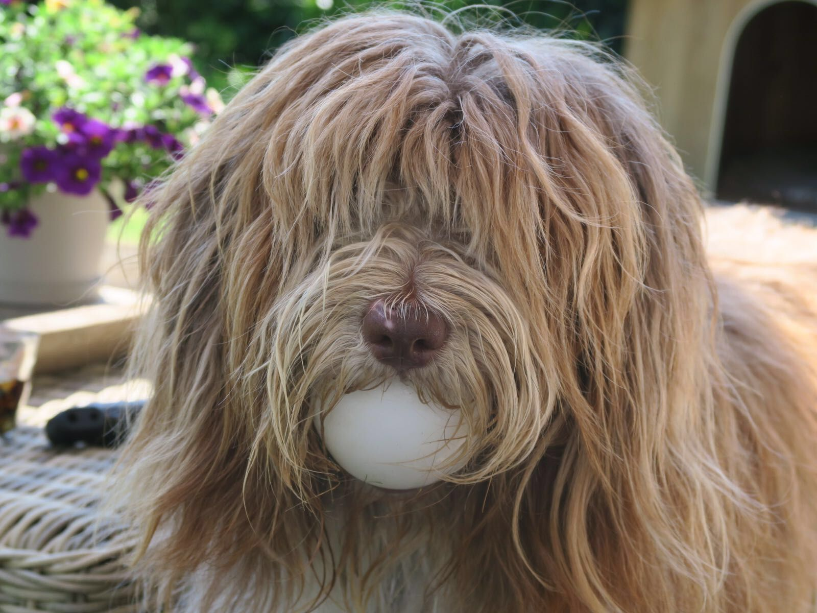 Dutch Sheepdog // Schapendoes // James of The Gentle Bears