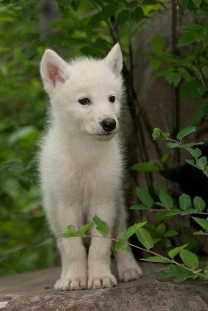 Looks Like A Tonka To Me Wolf Pup Wolf Dog Animals Wild