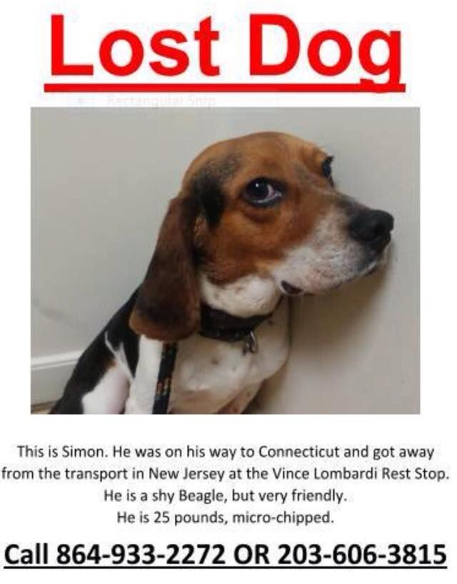 Lost In Nj Was On His Way To Ct Beagle
