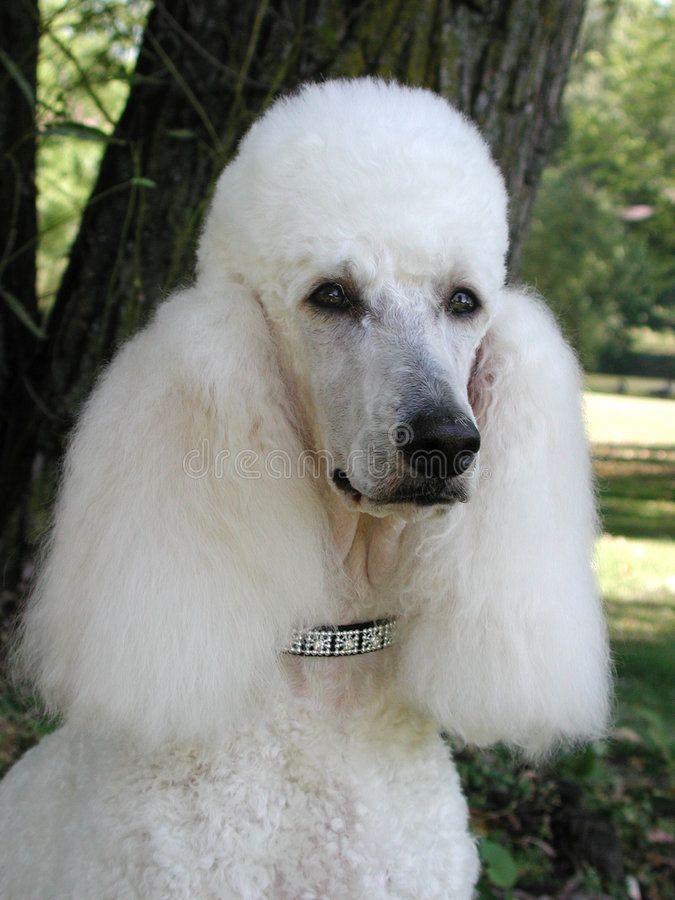 Standard Poodle portrait. Head study of white standard poodle with diamond stud , #Ad, #Head, #study, #portrait, #Standard, #Poodle #ad