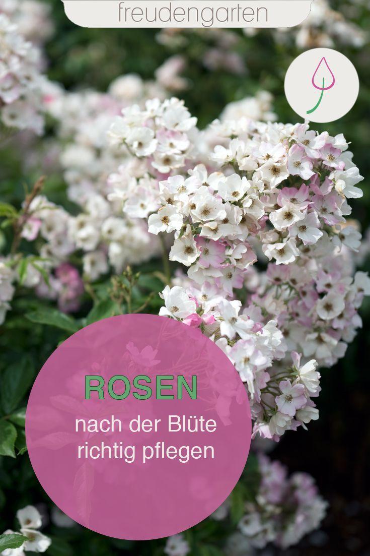 Rosen Nach Der Blute Pflegen Garten Bepflanzen Pflanzen Pflegeleichte Pflanzen