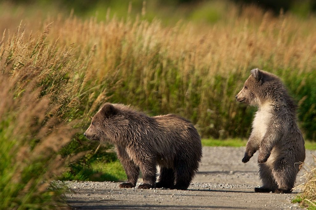 Two Bears cubs being curious and exploring. Love the Cub standing up. Haha. Taken by Buck Shreck.