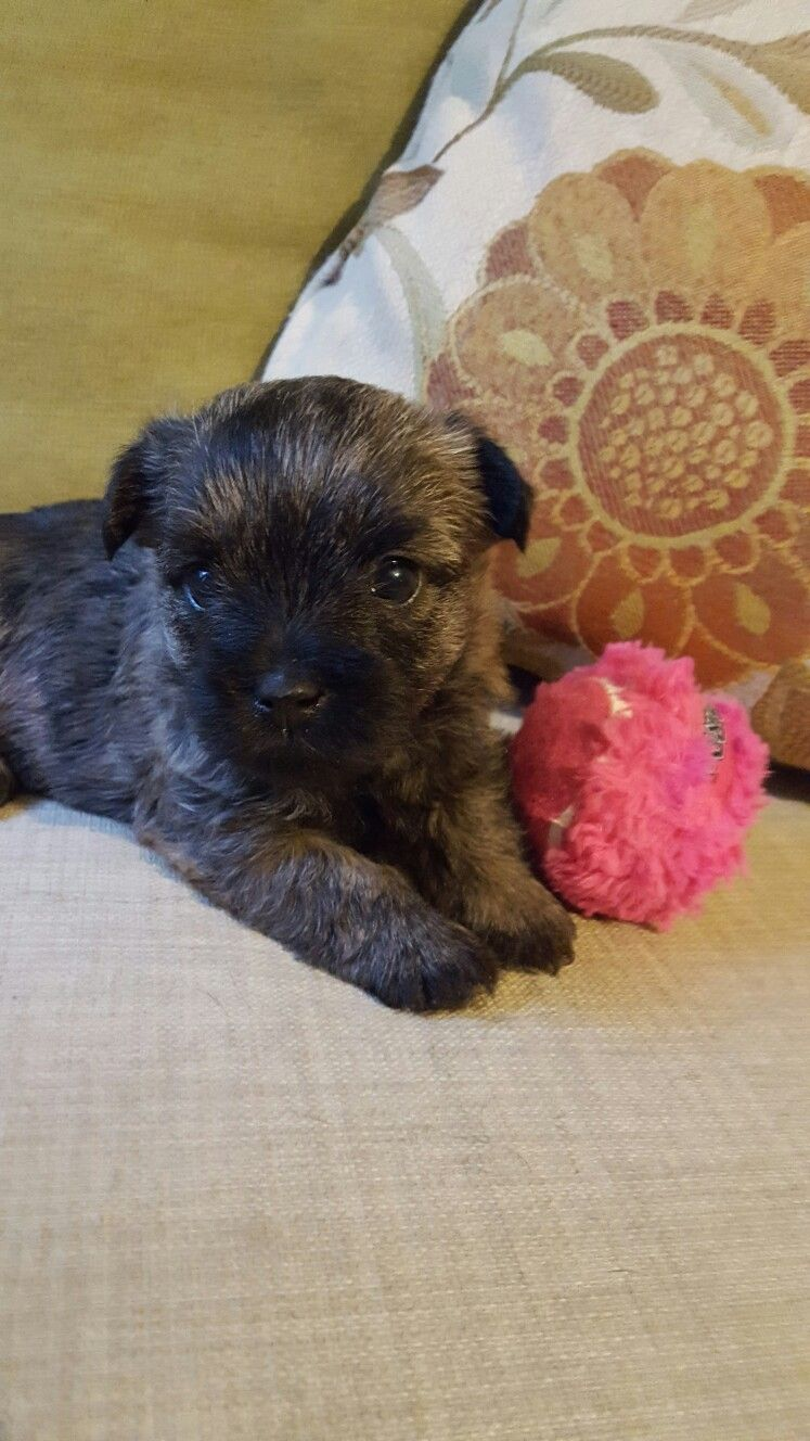 Cairn Terrier Female At 5 Weeks Of Age Dark Brindle Little