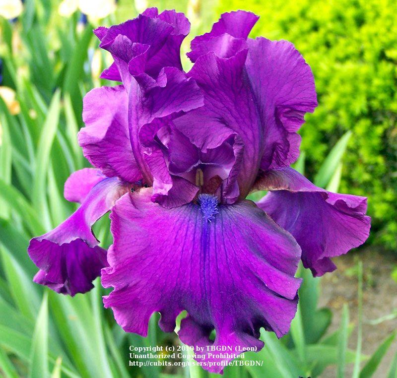 Tb Iris Germanica  U0026 39 Sultry Mood U0026 39   Schreiner  1989